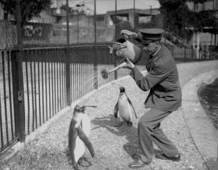 Dans un zoo, un soigneur douche des manchots avec un arrosoir, 1930
